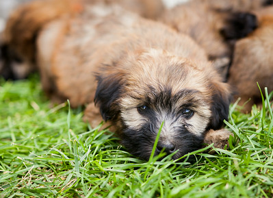 Ridire Wheaten Terriers-27