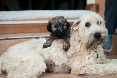 Ridire Wheaten Terriers-47