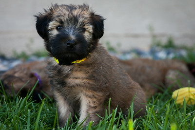 Ridire Wheaten Terriers-10