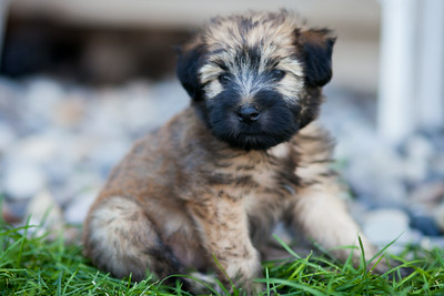 Ridire Wheaten Terriers-14