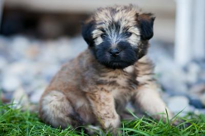 Ridire Wheaten Terriers-14