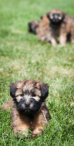 Ridire Wheaten Terriers-4