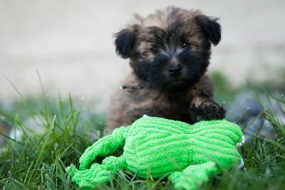 Ridire Wheaten Terriers-17