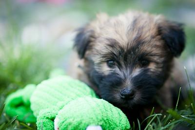 Ridire Wheaten Terriers-16