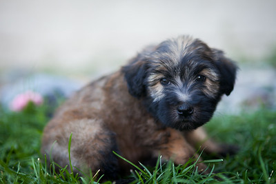 Ridire Wheaten Terriers-12