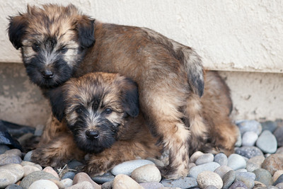 Ridire Wheaten Terriers-22