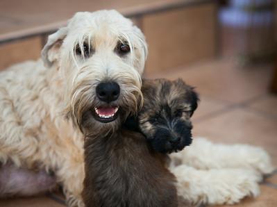 Ridire Wheaten Terriers-46