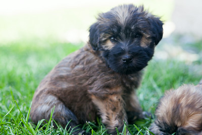 Ridire Wheaten Terriers-7