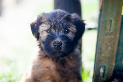 Ridire Wheaten Terriers-3