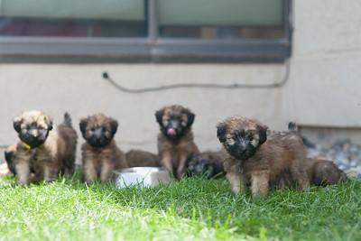 Ridire Wheaten Terriers-20