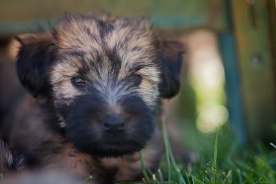 Ridire Wheaten Terriers-2