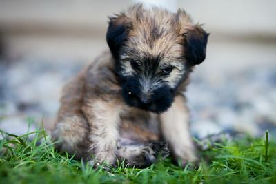 Ridire Wheaten Terriers-13