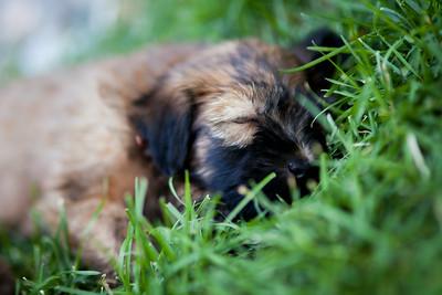 Ridire Wheaten Terriers-11