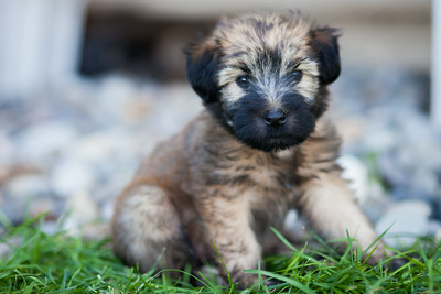 Ridire Wheaten Terriers-15
