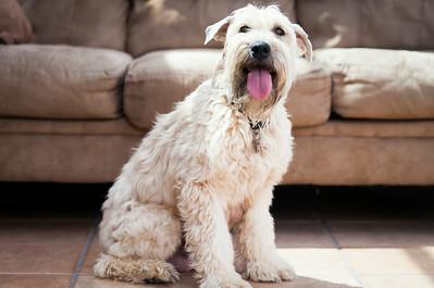 Ridire Wheaten Terriers-33