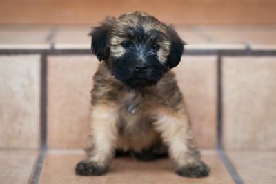 Ridire Wheaten Terriers-38