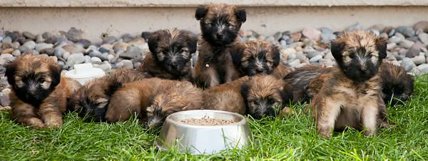 Ridire Wheaten Terriers-26