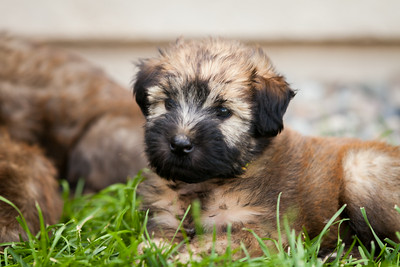 Ridire Wheaten Terriers-29