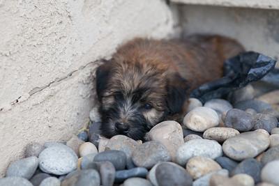 Ridire Wheaten Terriers-25