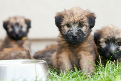 Ridire Wheaten Terriers-23