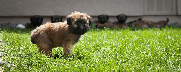 Ridire Wheaten Terriers-30