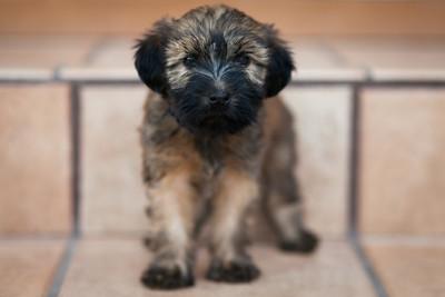 Ridire Wheaten Terriers-45
