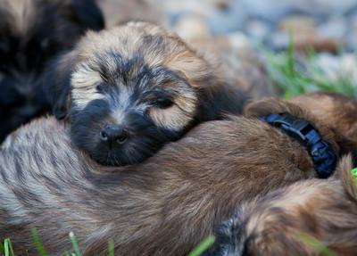 Ridire Wheaten Terriers-6