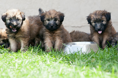 Ridire Wheaten Terriers-21