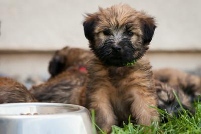 Ridire Wheaten Terriers-24