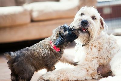 Ridire Wheaten Terriers-32