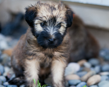 Ridire Wheaten Terriers-8
