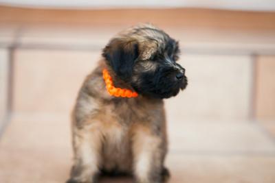 Ridire Wheaten Terriers-35