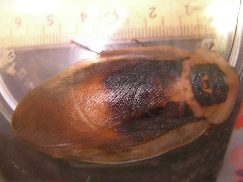fusca(?) female