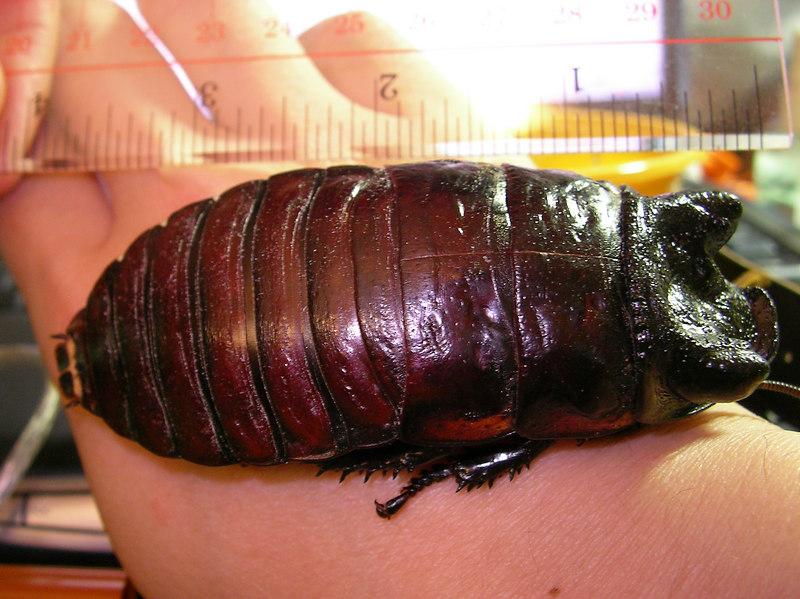 Gromphadorhina oblongonata male
