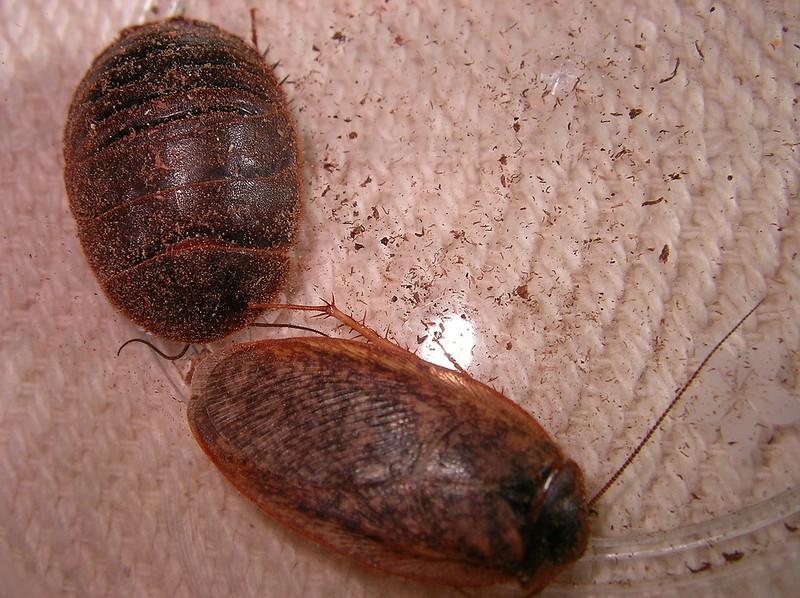 Eupolyphaga sinensis (left: female, right: male)