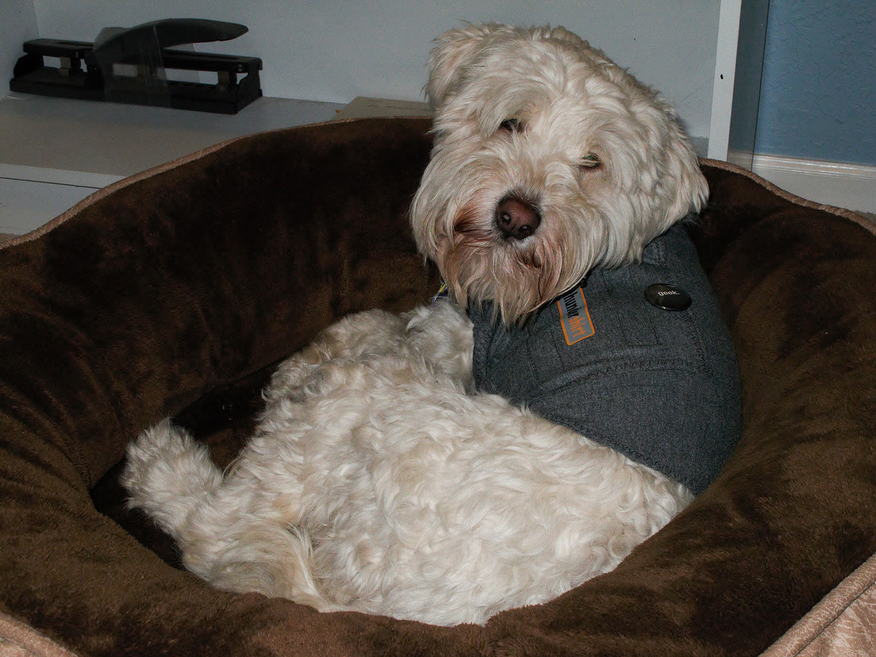 Roxie in her bed wearing her Thundershirt (& geek pin).