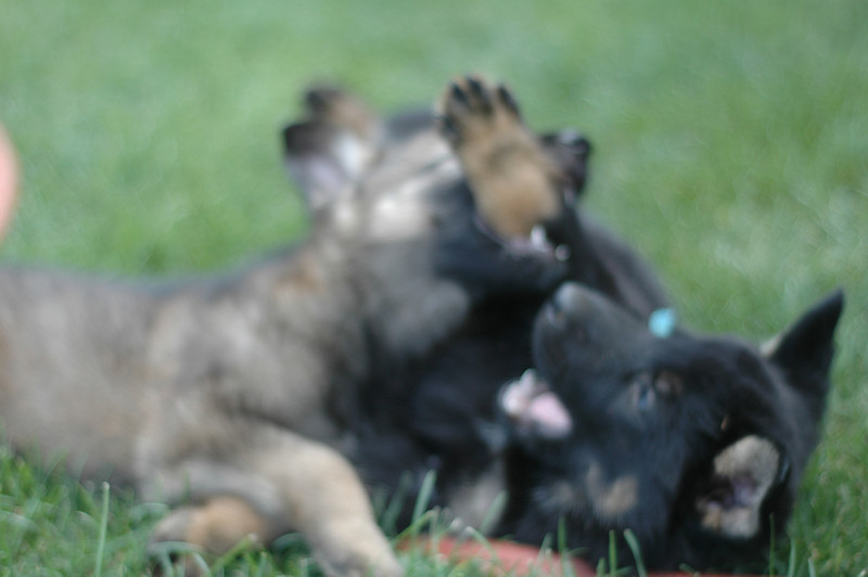 Hunter & Sidd (M-blue collar) wrestling, six weeks old