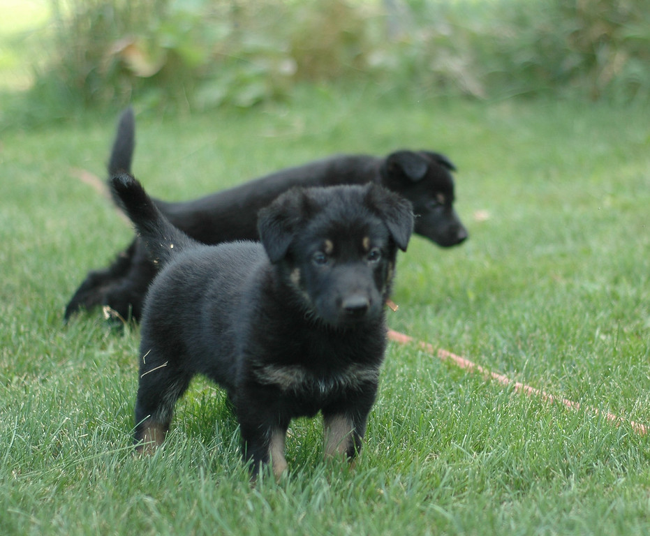 Scout (M-brown collar), six weeks old
