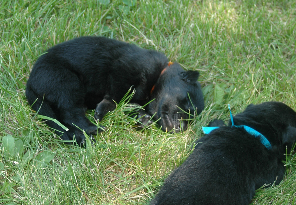 Orange collar girl & blue collar boy enjoying a nap in the shade :)
