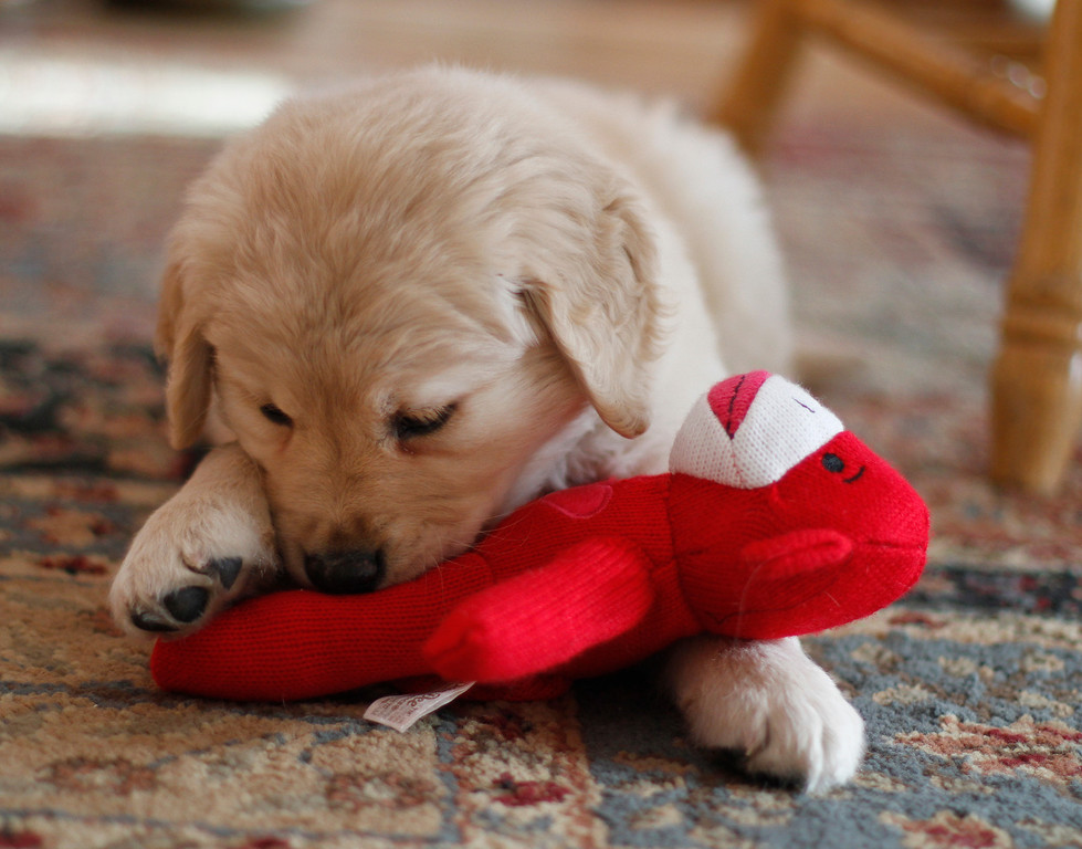 Sam the puppy 43