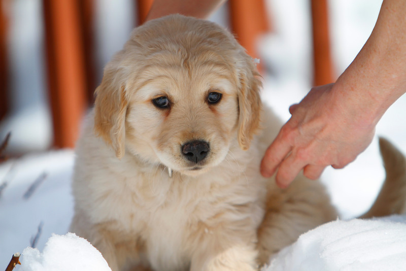 Sam the puppy 10
