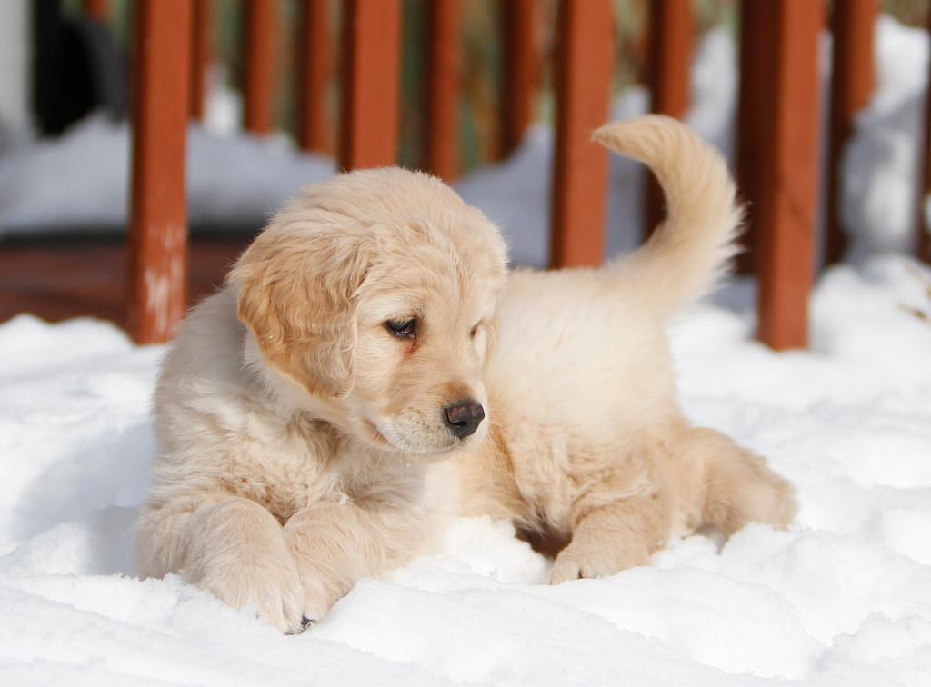 Sam the puppy 14
