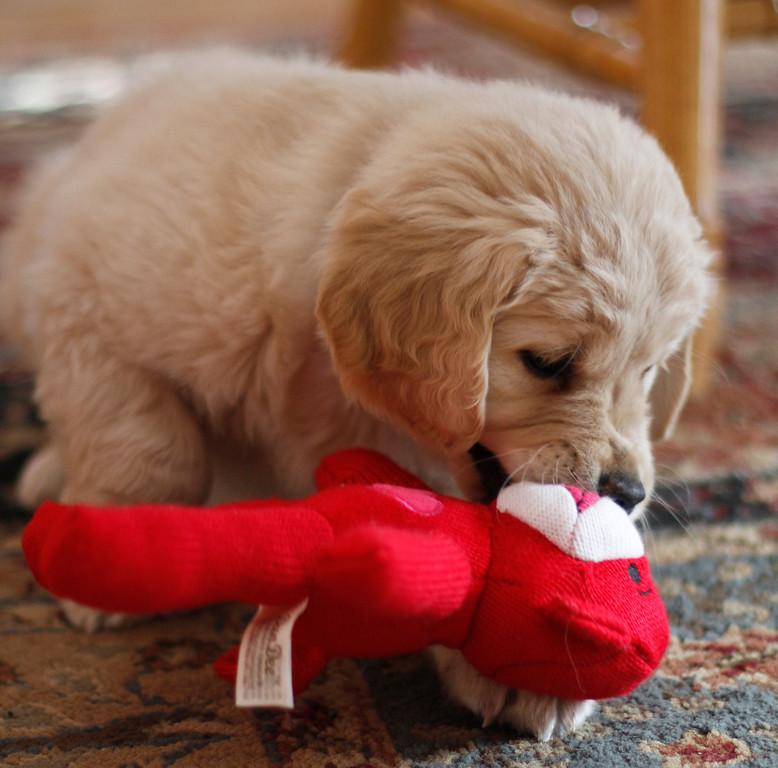 Sam the puppy 42