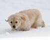Sam the puppy 31