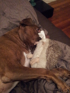 Sammy loves his hedgehog. He even bit a leg off so it couldn't get away.