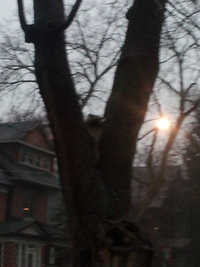 Middle of January and the coons are still around. Thank fuck Samson didn't notice this one in my tree when I just took him out.