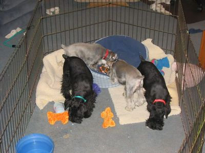 Schnauzer Pups for Sale, 16 weeks old