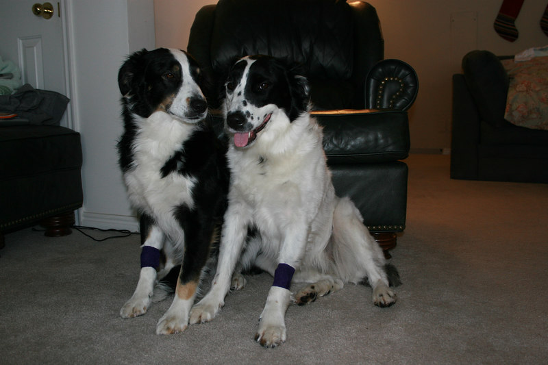 Band aids after their heart worm test