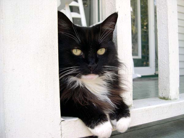 Black and white cat with paws draped through a porch railing.