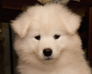 "Tobil's We'll Always Have Paris, call name ""Paris"". Paris is our newest edition at Severnaya Samoyeds.  She is pictured here at 10 weeks of age. This photo was taken with my Nikon D80, Nikkor 18-135 DX lens, M (manual) mode, with SB400 and Demb ""Flip It"" reflector."